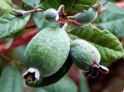 Acca sellowiana o feijoa sellowiana piante da frutto - Alberi nani da giardino ...