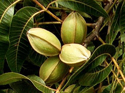 Carya illinoensis o pecan piante da frutto juglandaceae for Piante da frutto nord italia