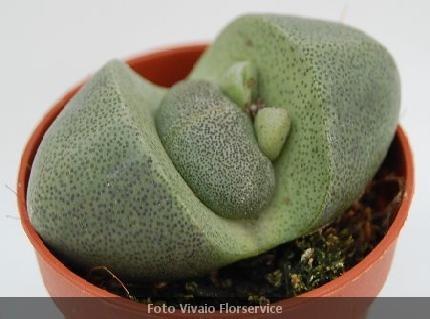 Piante grasse rare trendy senecio peregrinus with piante for Piante grasse rare